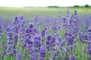 Tess Whitehurst-The Simple Bliss of Lavender and Cedar