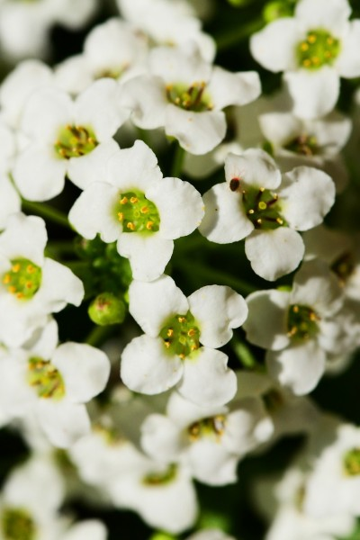 Alyssum Anchoring Charm: Simple Magic for Grounding Yourself in the Here and Now