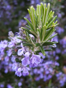 Rosemary Blessing for Mind, Body, Spirit, and Home by Tess Whitehurst