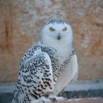 snowy-owl-1498720_1920